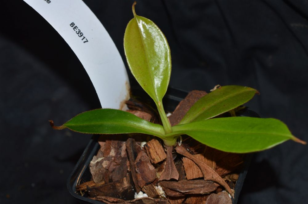 N. spectabilis x burbidgeae BE3917